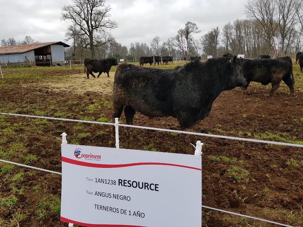 Cooprinsem realizó lanzamiento de su Catálogo de Toros de Carne 2018