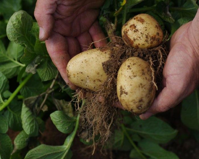 Buenos resultados del cultivo de la papa favorecen precios al consumidor